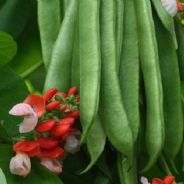 Runner Bean Tenderstar - Stringless Beans - 30 seeds